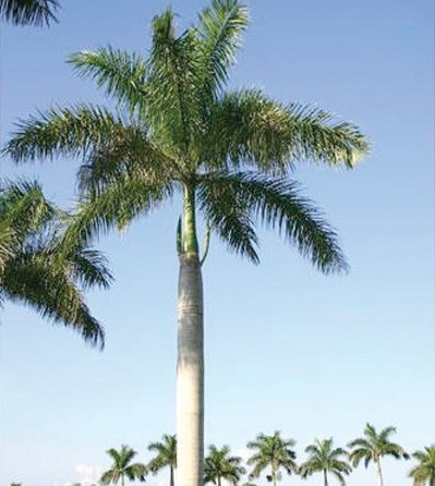 Our Mighty Palm Trees Palm Beach Florida Weekly