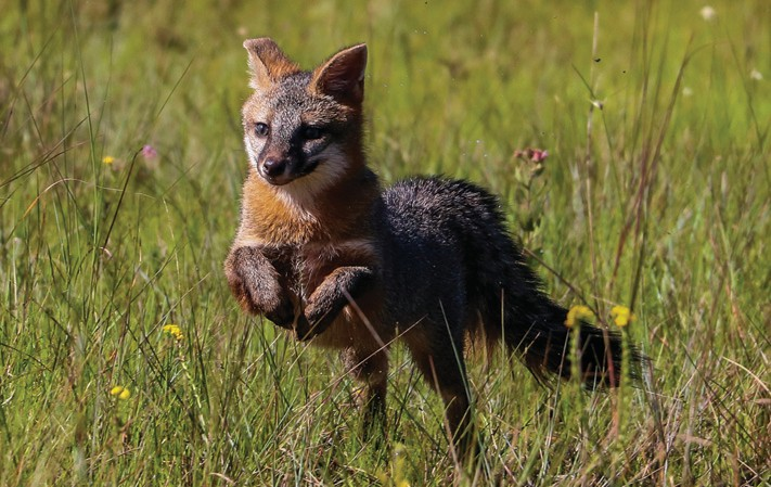 Busch Wildlife releases grey fox kits, great blue heron ... on Blue Fox Outdoor Living id=55804